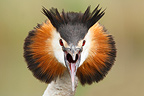 Close-up of the head of a Crested Grebe screaming (Crested Grebe)