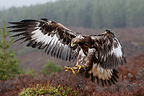 Golden Eagle landing in a moor in Scotland, United Kingdom