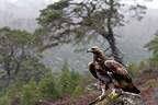 Golden Eagle on a moor in the rain, Scotland, United Kingdom