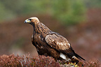 Golden Eagle on a moor, Scotland, United Kingdom
