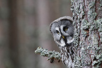 Great Grey Owl on a branch (Great Grey Owl)