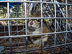 American red squirrel caught by biologist in a cage Yukon  (American Red Squirrel)