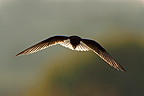 White-winged black tern in flight (White-winged black tern)