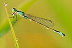 Blue-tailed Damselfly covered with dew landed on a rod