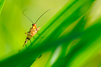 Common Scorpion Fly resting on a blade of grass Normandie