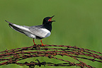 White-winged black tern screaming on barbed wire (White-winged black tern)