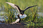 Male White-winged black tern making a present to his mate (White-winged black tern)