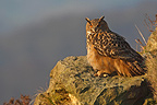 Eagle-owl standing on a rock