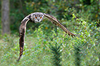 Eagle-owl flying in forest