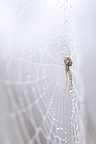 Spider at steal on its cobweb covered with droplets (Spider)