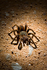 Portrait of a Tarantula in Pantanal Brazil (Spider)