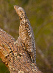 Portrait of a Great Potoo on a branch Pantanal Brazil (Great Potoo)