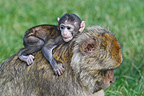 Young Barbary macaque on the back of an adult Alsace France (Barbary macaque)