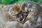 Young Barbary macaque between two males Alsace France (Barbary macaque)