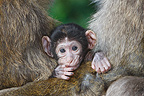 Young Barbary macaque between two adults Alsace France (Barbary macaque)