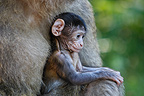Young Barbary macaque in the arms of an adult Alsace France (Barbary macaque)