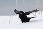 North-western Crow in snow Kenai peninsula Alaska (North-western Crow)