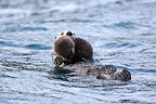 Sea otter swimming with its young on its stomach Alaska (Sea otter )