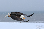 Bald Eagle flying Kenai peninsula Alaska (Bald eagle)