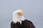 Portrait of a Bald Eagle Alaska (Bald eagle)