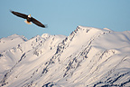 Bald Eagle flying Alaska (Bald eagle)