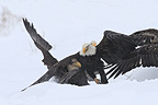 Bald Eagles fighting in snow Alaska (Bald eagle)