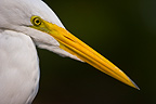 Portrait of a Great Egret in Pantanal Brazil  (Great Egret)