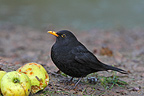 Male blackbird eating an apple England (Blackbird)