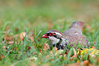 Red-legged partridge lying in a meadow England (Red-legged partridge)