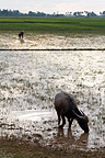 Buffalo feeding in a rice field in Cambodia� (Water Buffalo)