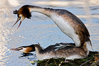 Great Crested Grebe mating on Lake Geneva Switzerland (Great Crested Grebe)