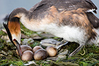 Great Crested Grebe on its nest on Lake Geneva Switzerland (Great Crested Grebe)