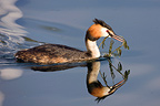 Great Crested Grebe swimming with foliage in beak (Great Crested Grebe)