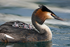 Great Crested Grebe swimming with its chicks on Lake Geneva (Great Crested Grebe)