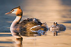 Great Crested Grebe and young swimming on Lake Geneva (Great Crested Grebe)