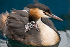 Great Crested Grebe and chicks swimming on Lake Geneva, Switzerland