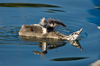 Young Great Crested Grebe swimming on Lake Geneva (Great Crested Grebe)