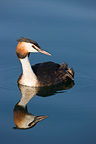 Great Crested Grebe swimming on lake Neuchatel Switzerland (Great Crested Grebe)