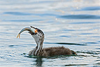 Young Great Crested Grebe eating a fish on Lake Geneva (Great Crested Grebe)