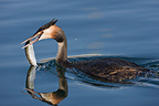 Great Crested Grebe with fish on Lake Geneva Switzerland (Great Crested Grebe)