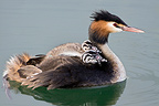 Great Crested Grebe and chicks on Lake Geneva Switzerland (Great Crested Grebe)