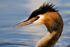 Portrait of a Crested Grebe on Lake Geneva Switzerland (Great Crested Grebe)