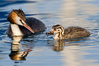 Crested Grebe and chick on Lake Geneva Switzerland (Great Crested Grebe)