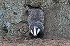 European Badger coming out from its burrow Great-Britain (Eurasian badgers )