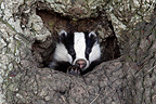 Young European Badger coming out from the burrow GB (Eurasian badgers )