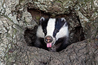 Young European Badger at the entrance of the burrow GB (Eurasian badgers )