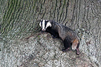 European Badger on the trunk of an old oak GB (Eurasian badgers )