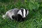 Young European Badger in a meadow GB (Eurasian badgers )