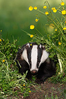 European Badger in a flowered meadow GB (Eurasian badgers )