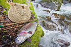 Rainbow trout in Doller river Fly fishing (Rainbow trout)